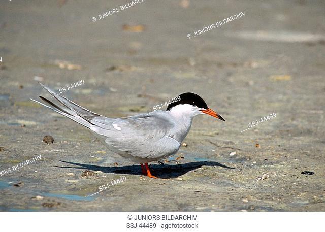 Sterna paradisaea / Arctic tern