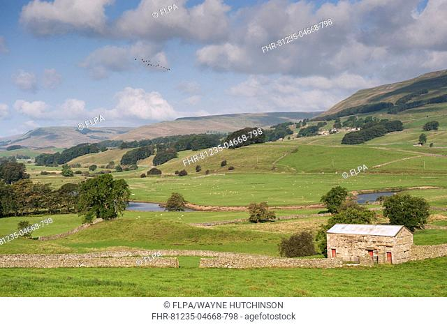 View of drystone walls and stone barn in valley farmland, River Ure, near Hawes, Wensleydale, Yorkshire Dales N.P., North Yorkshire, England, September