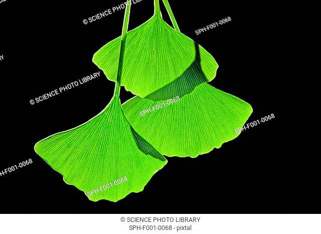 Ginkgo leaves, computer artwork