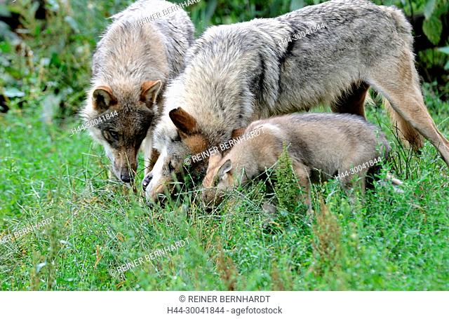 Canine, Canis lupus, European wolf, grey wolf, grey wolf, doggy, Isegrimm, young wolves, Jung's wolves, predator, predators, puppies, Wolf, wolf puppy, wolves