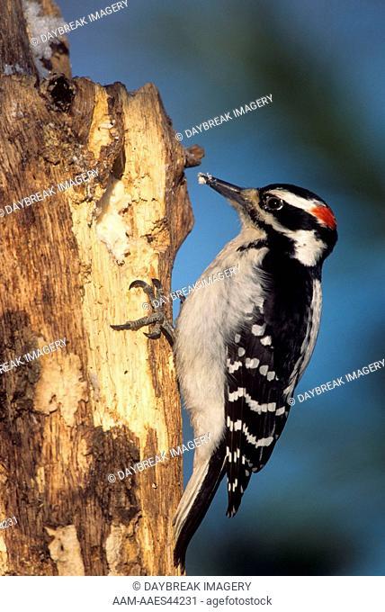 Hairy Woodpecker (Picoides villosus) Male, Illinois