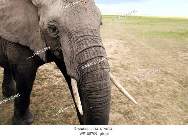 African Elephant being curious about the photography vehicle