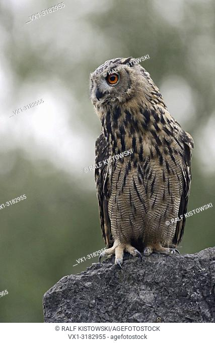 Northern Eagle Owl ( Bubo bubo ), perched on a rock, watching aside, low point of view, wildlife, Germany