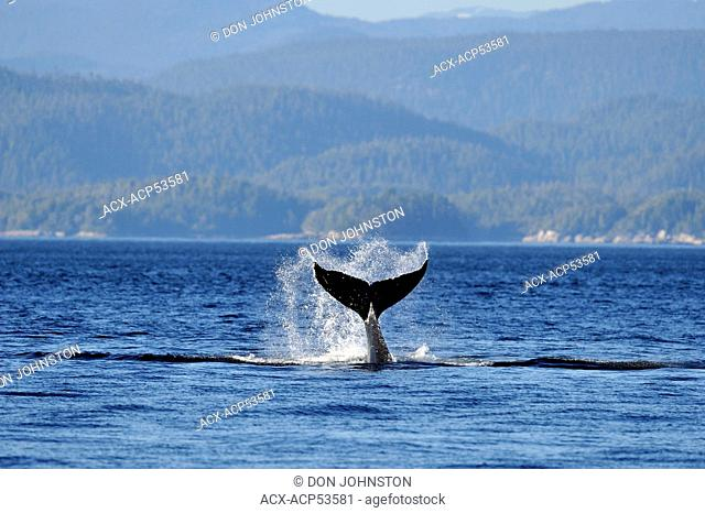 Humpback whale Megaptera novaeangliae Tail-slapping behaviour, Blackfish Sound, Vancouver Island, British Columbia, Canada
