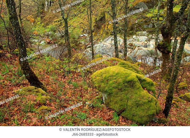 Stream Cilebrero las Gargantillas between forest the beginning of the ascent to port Honduras. Jerte valley. Cáceres