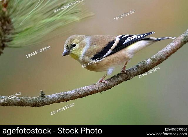 American Goldfinch (Spinus tristis) in winter plumage perched on a red pine branch - Ontario, Canada