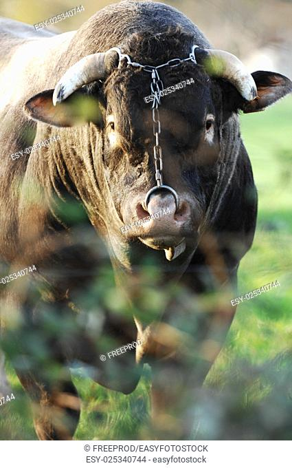 Boeuf In its meadows, Bazas, France, Europe