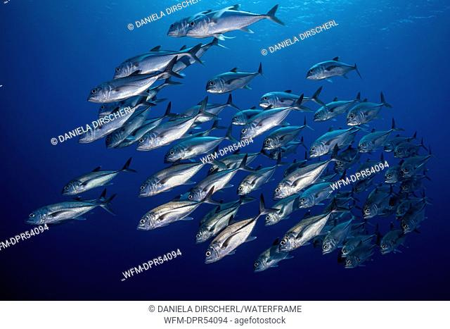 Shoal of Bigeye Trevally, Caranx sexfasciatus, Shaab Rumi, Red Sea, Sudan