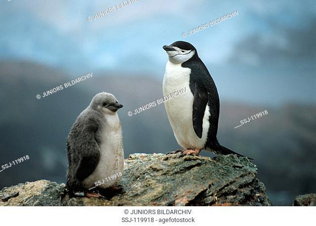 Chinstrap penguin / bearded penguin with cub / Pygoscelis antarctica