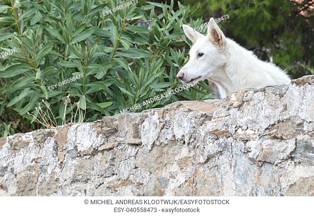 Dog guarding a private property in Greece