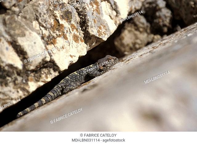Lizard on stones of the archeological site