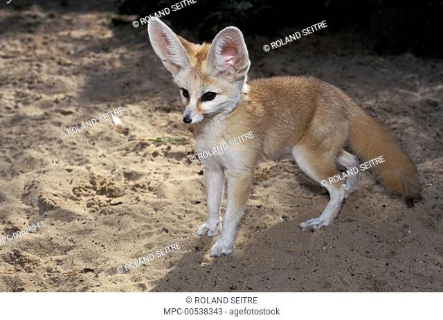 Fennec Fox (Vulpes zerda), native to northern Africa