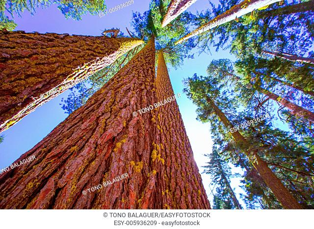 Sequoias in California view from below at Mariposa Grove of Yosemite USA