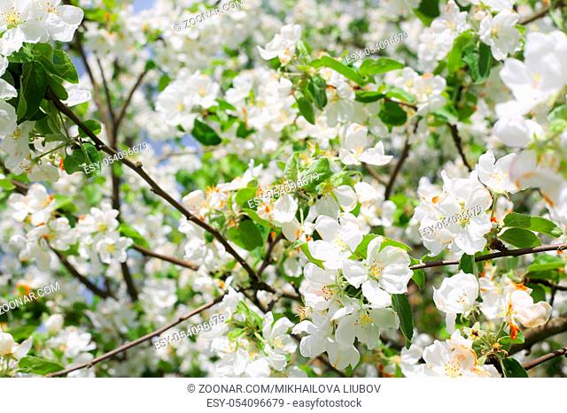 Blooming apple tree branch close up view spring background