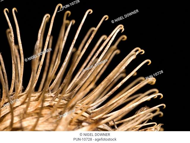 Close-up abstract of the tiny hooks of a dried greater burdock seedhead Arctium lappa Seeds are transported by sticking to clothing or animal fur using these...