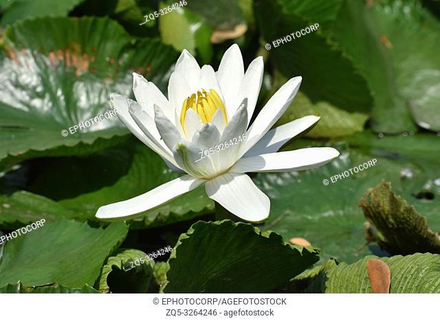 Lotus, Hyderabad, Telanagana, India