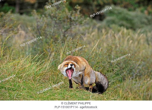 Aggressive Red fox (Vulpes vulpes) in defensive posture showing teeth and keeping ears flat