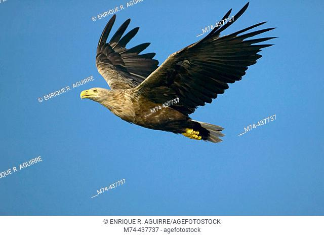 White-tailed Eagle in flight