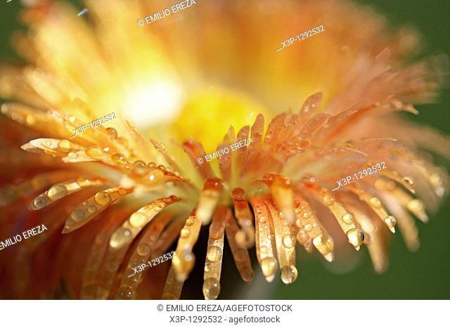 Stone plant Pleiospilus nellii