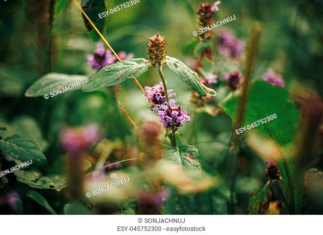 beautiful purple flowers and leaves close-up in woods. pink wildflowers and herbs in sunny forest. environmental protection