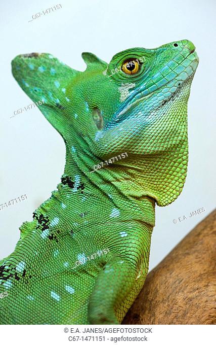 Green Basilisk Basiliscus plumifrons side view portrait