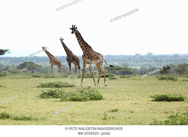 Giraffes (Giraffa camelopardalis), Serengeti, Tanzania, Africa