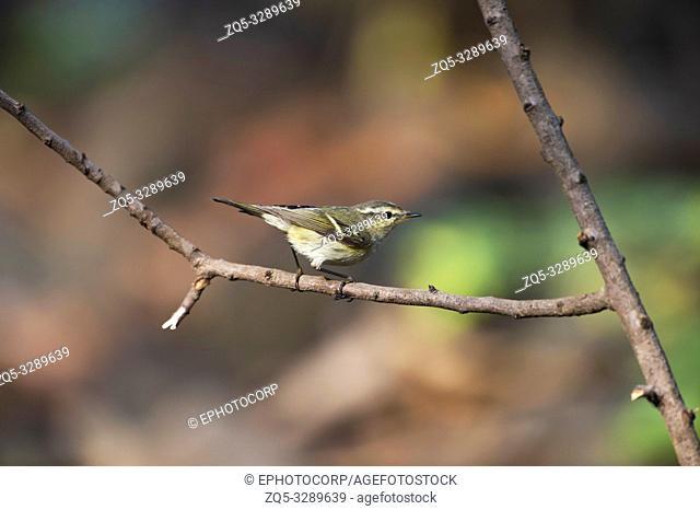 Greenish warbler, Phylloscopus trochiloides, Pune, Maharashtra, India