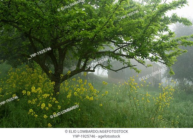 Tree and Flowers in Mist  Surrounding of Orvieto  Umbria, Italy