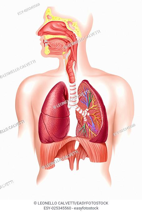 Cutaway diagram of a human respiratory sustem, also the nasal and mouth parts. 2 D digital illustration, on white background, with clipping path