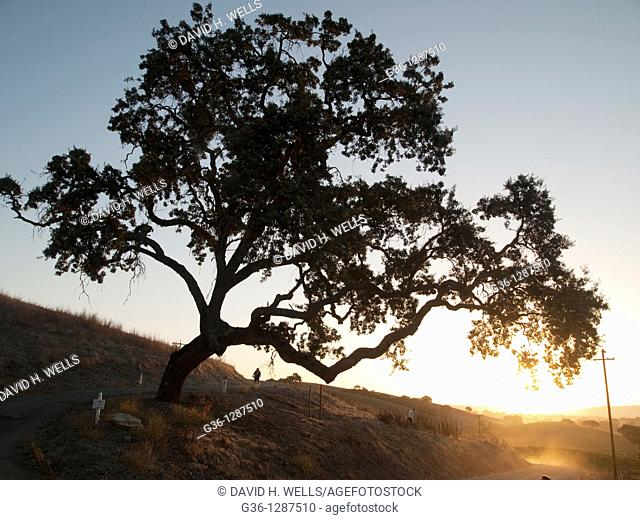Oak tree at sunrise near Paso Robles, California, USA