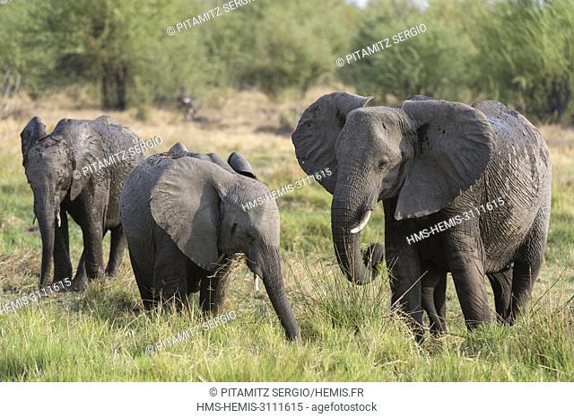 Elephant (Loxodonta africana), Khwai concession, Okavango delta, Botswana