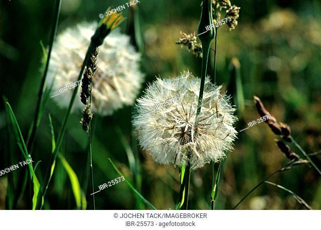 DEU, Germany: plants, dandelion