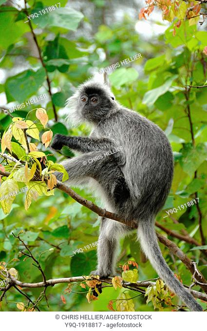 Silvered Leaf Monkey Silvery Lutung or Silvery Langur Bako National Park Sarawak Borneo Malaysia