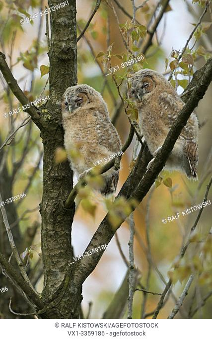 Tawny Owl / Owls / Waldkauz ( Strix aluco ), young fledglings, moulting adolescents, perched high up in a tree, sleeping over day, cute and funny, wildlife