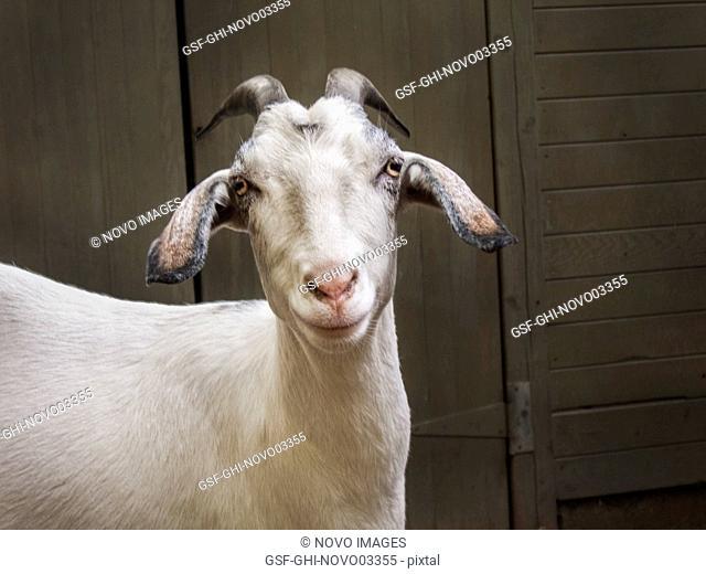 Nubian Goat in Barnyard 3