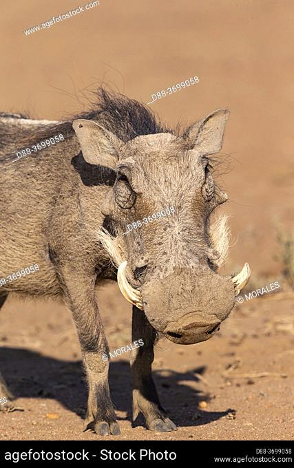 Africa, Namibia, Private reserve, Warthog (Phacochoerus africanus),