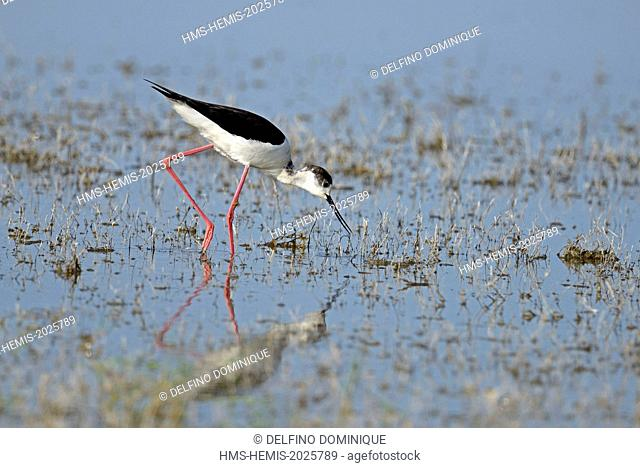 Romania, Danube Delta listed as World Heritage by UNESCO, Stilt (Himantopus Himantopus) foraging in a marsh