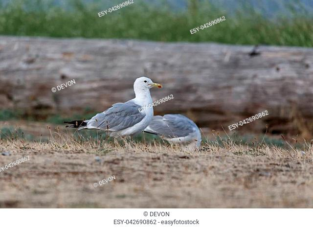 california gull at Blackie Spit park, Vancouver BC Canada