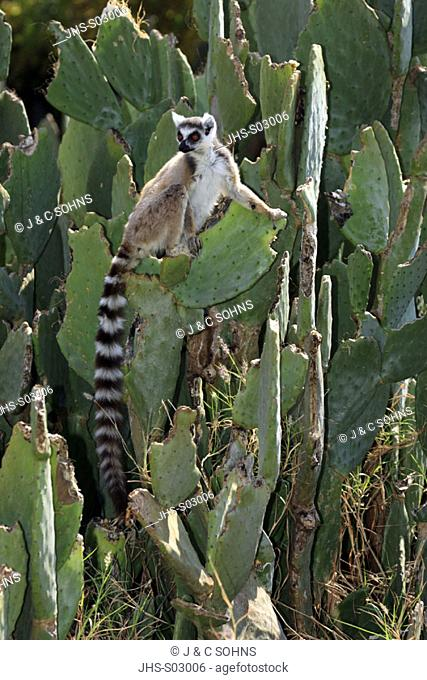 Ring Tailed Lemur, Lemur catta, Berenty Game Reserve, Madagascar, adult on cactus