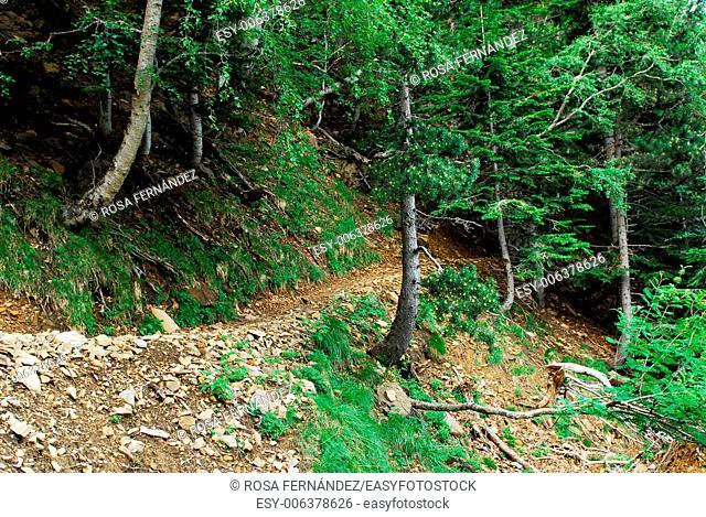 Cazadores trail and fir wood, Ordesa and Monte Perdido National Park, Torla, province of Huesca, Aragon, Spain