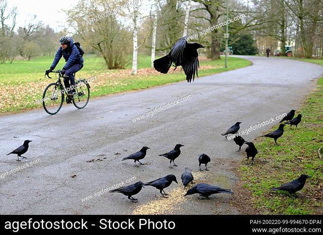 20 February 2020, Hessen, Kassel: In the Karlsaue, a cyclist passes crows that are feeding on scattered fodder by the wayside. Photo: Uwe Zucchi/dpa