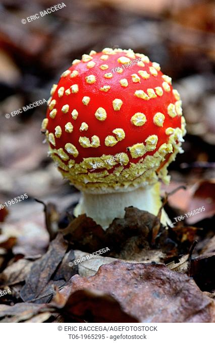 Fly agaric funghi (Amanita muscaria) on forest ground, autumn, Alsace, France