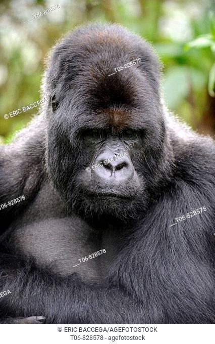 Male silverback mountain gorilla (Gorilla beringei beringei) Volcanoes National Park, Rwanda, Africa