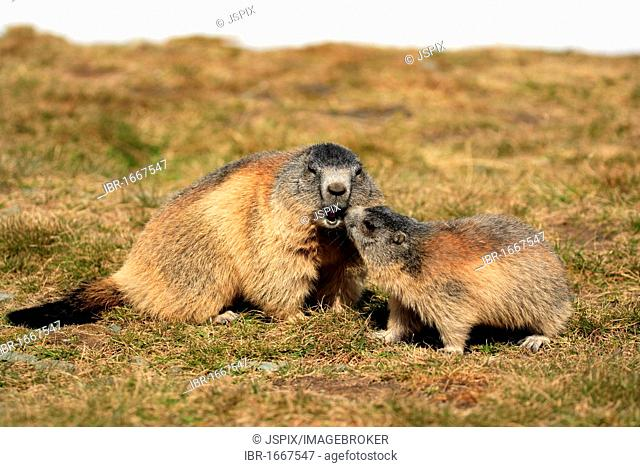 Alpine Marmot (Marmota marmota), adult with juvenile, social behavior, Grossglockner Mountain Range, Hohe Tauern National Park, Austria, Alps, Europe