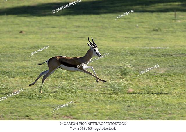 Springbok (Antodorcas marsupialis), running, Kgalagadi Transfrontier Park in rainy season, Kalhari Desert, South Africa/Botswana