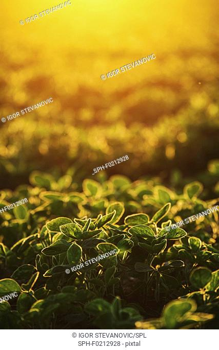 Organic soybean field at sunset