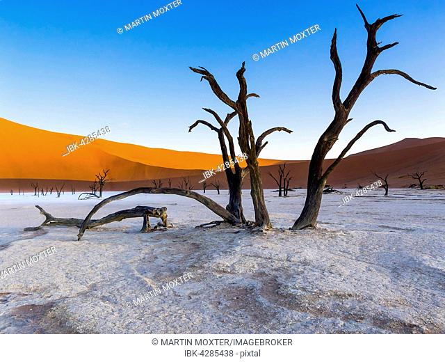 Dead camel thorn trees (Vachellia erioloba) in Dead Vlei in front of sand dunes, salt pan, Sossusvlei, Namib Desert, Namib-Naukluft National Park, Namibia