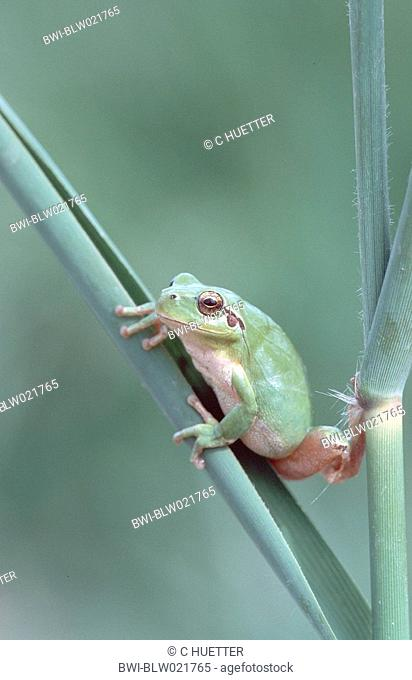 stripeless treefrog, Mediterranean treefrog Hyla meridionalis