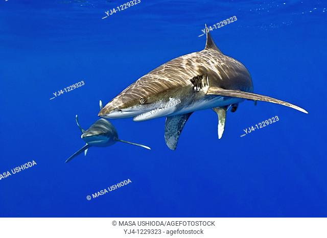 oceanic whitetip sharks, Carcharhinus longimanus, Kona Coast, Big Island, Hawaii, USA, Pacific Ocean