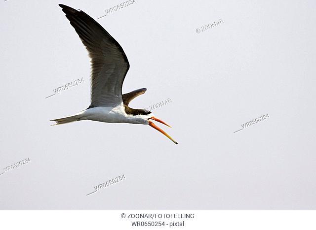 Braunmantel Scherenschnabel Rynchops flavirostris im Flug ueber Chobe Fluss, Chobe National Park, Botswana, Afrika, African Skimmer at flight over Chobe River
